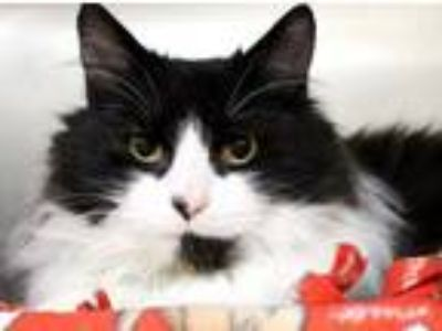 Adopt 28906 - Leonardo a Norwegian Forest Cat / Mixed cat in Ellicott City