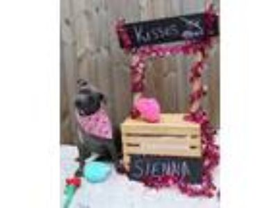 Adopt Sienna a Pit Bull Terrier