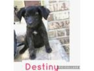 Adopt Destiny a Black - with White Labrador Retriever / Mixed dog in Parsippany