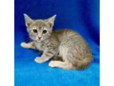 Adopt Juliette a Brown or Chocolate Domestic Shorthair cat in Culver City