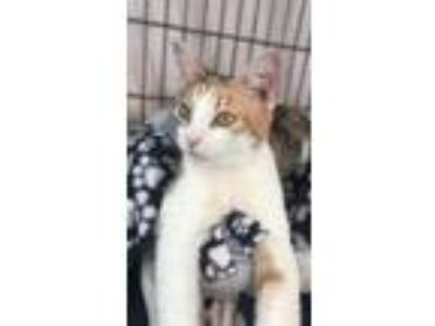 Adopt Polly a Brown or Chocolate Domestic Shorthair / Domestic Shorthair / Mixed