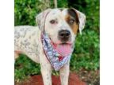 Adopt Freckles 2 a White - with Brown or Chocolate Pointer / Terrier (Unknown