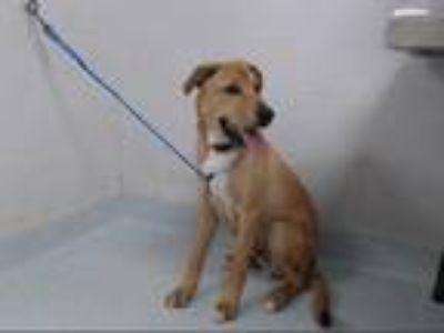 Adopt a Brown/Chocolate - with White Labrador Retriever / German Shepherd Dog /
