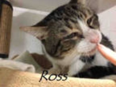 Adopt ROSS a Brown Tabby Domestic Shorthair / Mixed (short coat) cat in Tucson