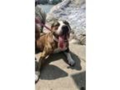 Adopt Missy a Brindle American Pit Bull Terrier / Boxer dog in Warren