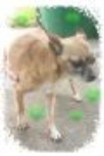 Mimi mini Chihuahua - Miniature Pinscher Dog