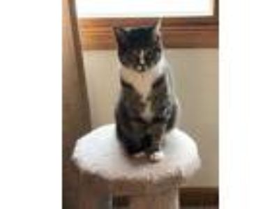 Adopt Leia a All Black Domestic Shorthair / Domestic Shorthair / Mixed cat in