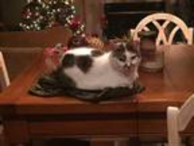 Adopt Lady a White (Mostly) American Shorthair / Mixed cat in Saline