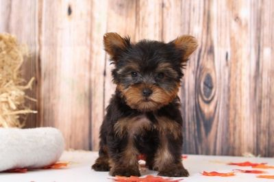 Yorkshire Terrier PUPPY FOR SALE ADN-98797 - Biscuit Good Looking Male Yorkie Puppy