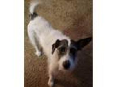 Adopt Emma a Jack Russell Terrier / Mixed dog in Battle Ground, WA (25543655)