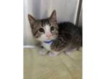 Adopt Dudley a Gray or Blue Domestic Shorthair / Domestic Shorthair / Mixed cat