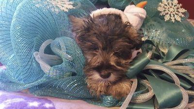 mini schnauzer puppies for sale