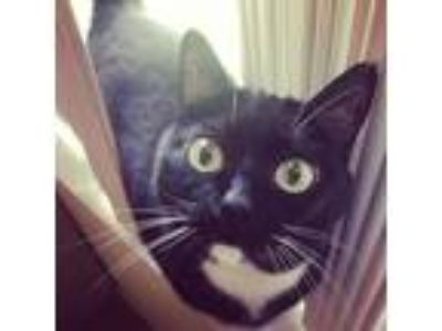 Adopt Knuckles a Black & White or Tuxedo American Shorthair / Mixed cat in