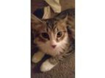 Adopt Laker a Gray, Blue or Silver Tabby Domestic Mediumhair (medium coat) cat