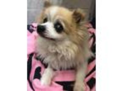 Adopt Rue a White - with Tan, Yellow or Fawn Pomeranian / Mixed dog in
