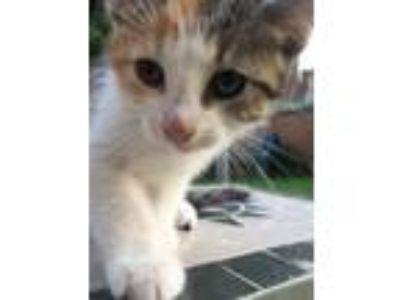 Adopt Kitten12 a Domestic Short Hair, Calico