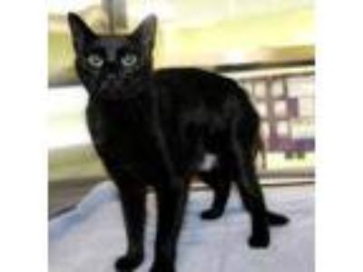 Adopt Starkist a All Black Domestic Shorthair / Domestic Shorthair / Mixed cat