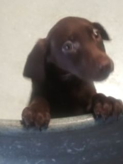Chocolate Female Lab for sale