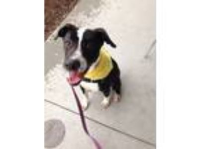 Adopt Quincey a Black - with White Labrador Retriever / Great Dane / Mixed dog
