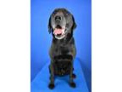 Adopt (found) Bradford a Black Labrador Retriever / Mixed dog in Cabot
