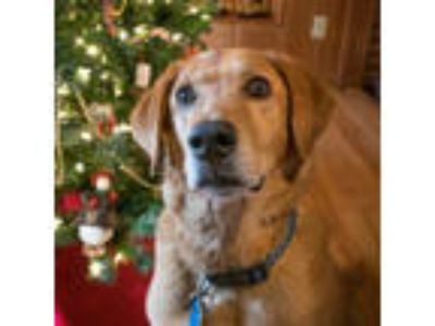 Adopt Max-Courtesy Post-Contact Golden Bond Rescue of Oregon Directly a Labrador
