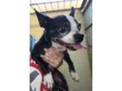 Adopt Found stray: Blaze a Brindle Boston Terrier / Mixed dog in Rockwall