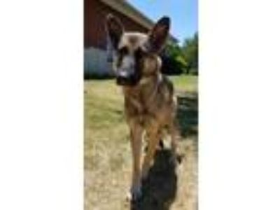 Adopt Princess a German Shepherd Dog, Mixed Breed