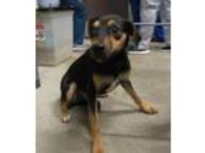 Adopt Tanker a Terrier (Unknown Type, Small) / Mixed Breed (Medium) / Mixed dog