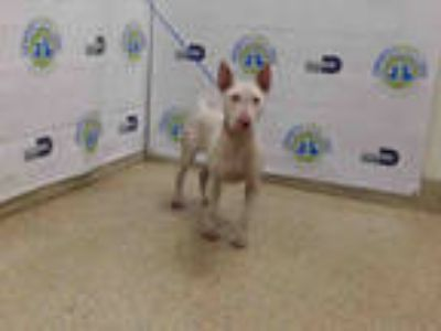 Adopt STELLA a White Bull Terrier / Mixed dog in Doral, FL (25594902)
