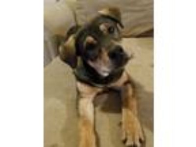 Adopt Tanner a Brown/Chocolate - with Tan Doberman Pinscher / Shepherd (Unknown