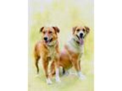 Adopt DIXIE and SADIE a Tan/Yellow/Fawn Labrador Retriever / Mixed dog in Spring