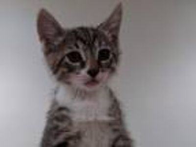 Adopt Leo a Brown Tabby Domestic Shorthair / Mixed (short coat) cat in Hermosa