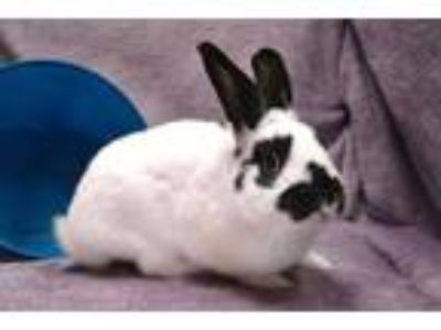 Adopt BUGS a White Other/Unknown / Mixed rabbit in Statesville, NC (25576169)