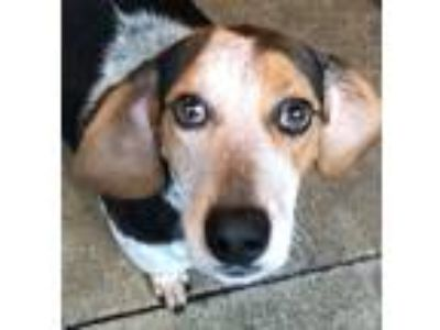 Adopt J.D. a Gray/Silver/Salt & Pepper - with White Beagle / Hound (Unknown