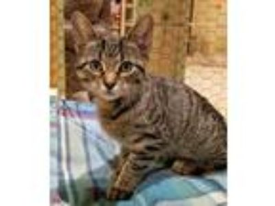 Adopt Jessie a Brown or Chocolate Domestic Shorthair / Domestic Shorthair /