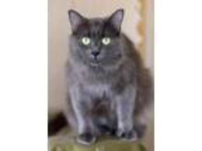 Adopt Dolly a Russian Blue / Mixed (long coat) cat in Menifee, CA (23995001)