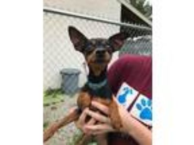 Adopt Duke a Black - with Tan, Yellow or Fawn Miniature Pinscher / Mixed dog in