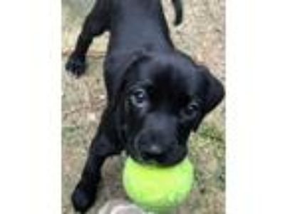 Adopt Slinky Dog a Labrador Retriever / Boxer / Mixed dog in Clinton
