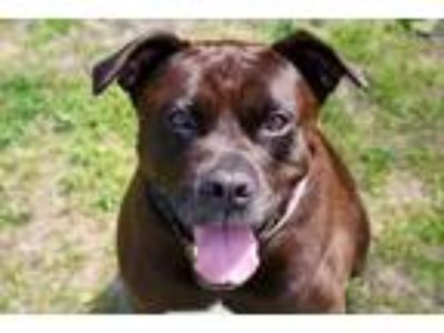 Adopt Midnight / Skeeter a Pit Bull Terrier / Labrador Retriever / Mixed dog in