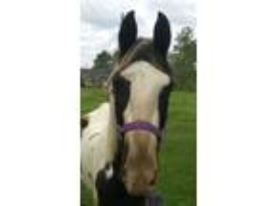 Adopt Shane a Paint Paint/Pinto horse in Hitchcock, TX (16371348)