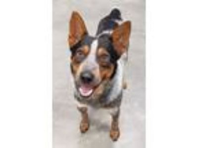Adopt Astro a Australian Cattle Dog / Blue Heeler