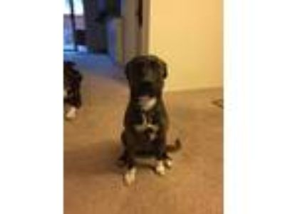 Adopt Zoey a Brindle Terrier (Unknown Type, Medium) / Black Mouth Cur / Mixed