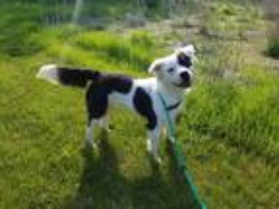 Adopt Maddie a White - with Gray or Silver Border Collie / Pit Bull Terrier dog