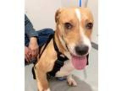 Adopt Duke a Tan/Yellow/Fawn - with White Labrador Retriever / American