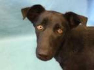 Adopt Destiny a Black Shepherd (Unknown Type) / Mixed dog in Golden Valley