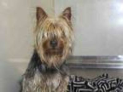 Adopt A054533 a Yorkshire Terrier