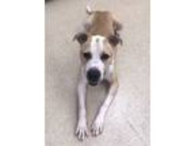 Adopt Grover a Tan/Yellow/Fawn - with White Pit Bull Terrier / Mixed dog in