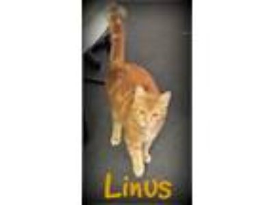 Adopt LINUS a Orange or Red Domestic Shorthair (short coat) cat in Beverly