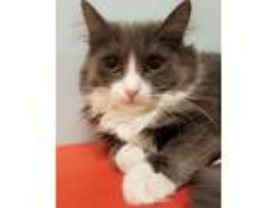 Adopt Bernadette a Gray or Blue (Mostly) Domestic Longhair (long coat) cat in
