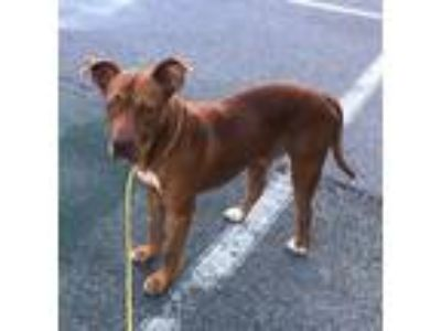 Adopt 19-06-1910 Lincoln a Pit Bull Terrier / Mixed dog in Dallas, GA (25773779)